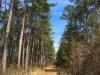 pine11